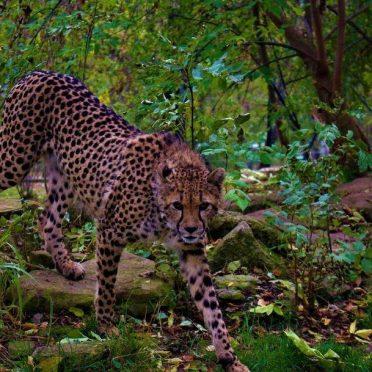 Gepardenkatze Ashanti