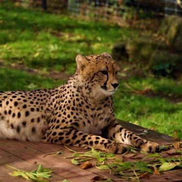 Gepardenkatze Jala 2